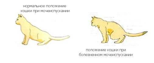 Кот писает сгустками крови — расписываем все нюансы