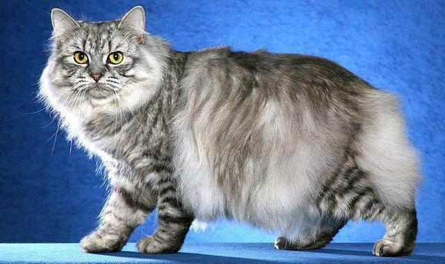 Кимрик (cеmric cat)