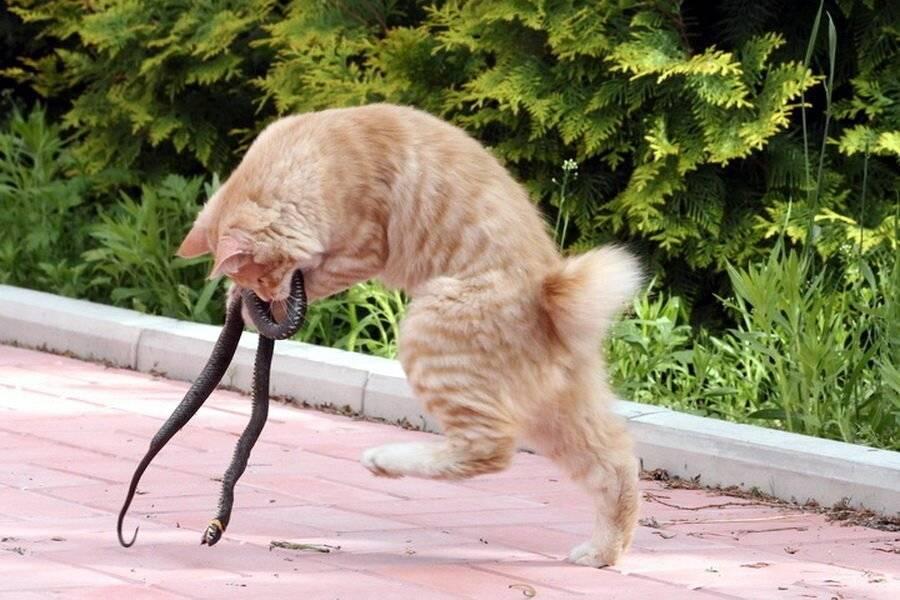 Что такое синдром гиперестезии кошек?