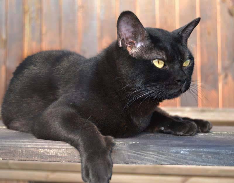 Описание внешнего вида и характера черной бомбейской кошки