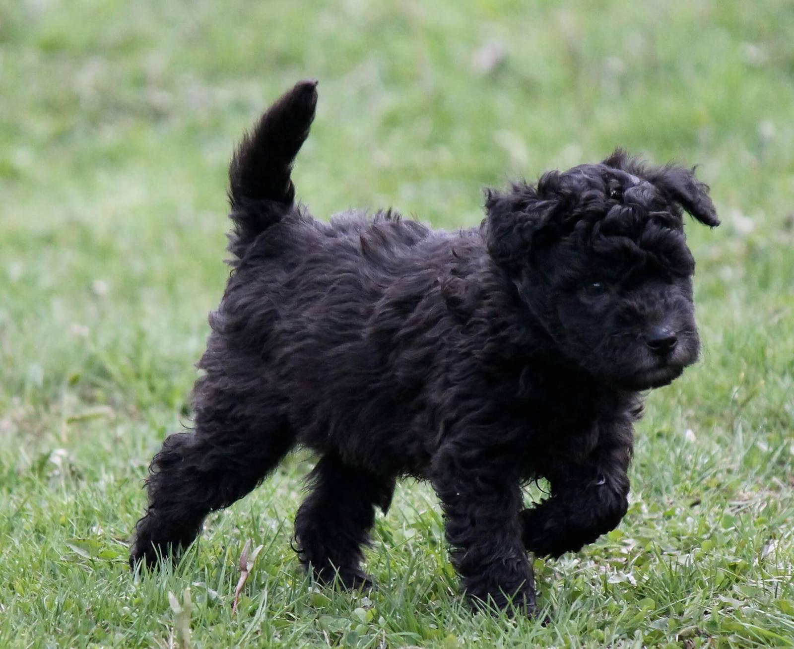 Собака чау-чау: уход, содержание, воспитание и кормление породистых собак (110 фото)