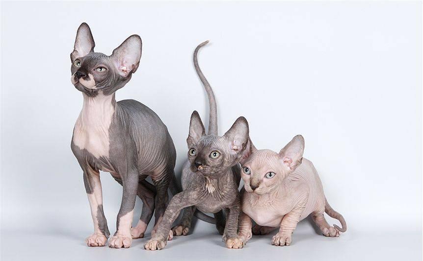 Кошка эльф: описание породы, содержание и уход