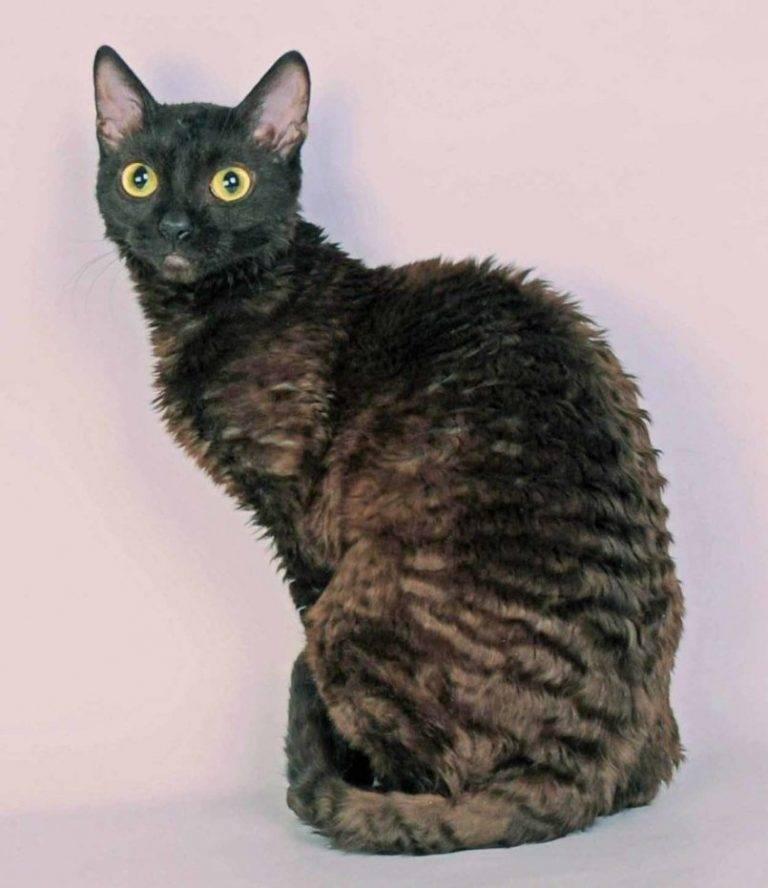 Уральский рекс: 125 фото кошки, характеристика породы, стандарты, уход и цена за котенка