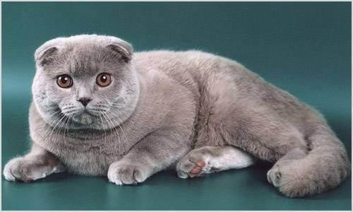 Почему у шотландского котенка слезятся глаза после еды