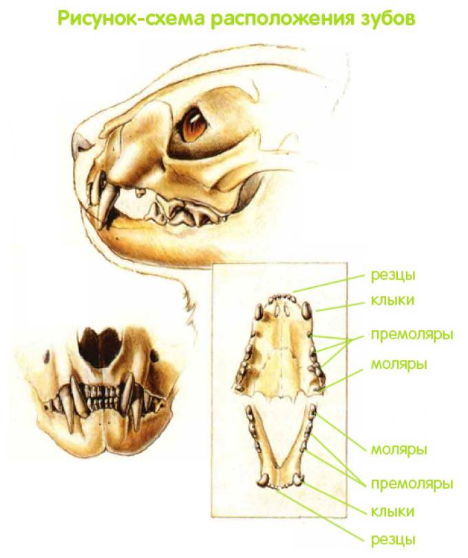 Кошачьи зубки — от резцов до коренных