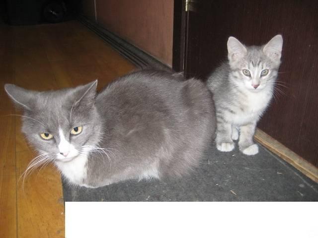 Серая кошка в доме – приметы и поверья