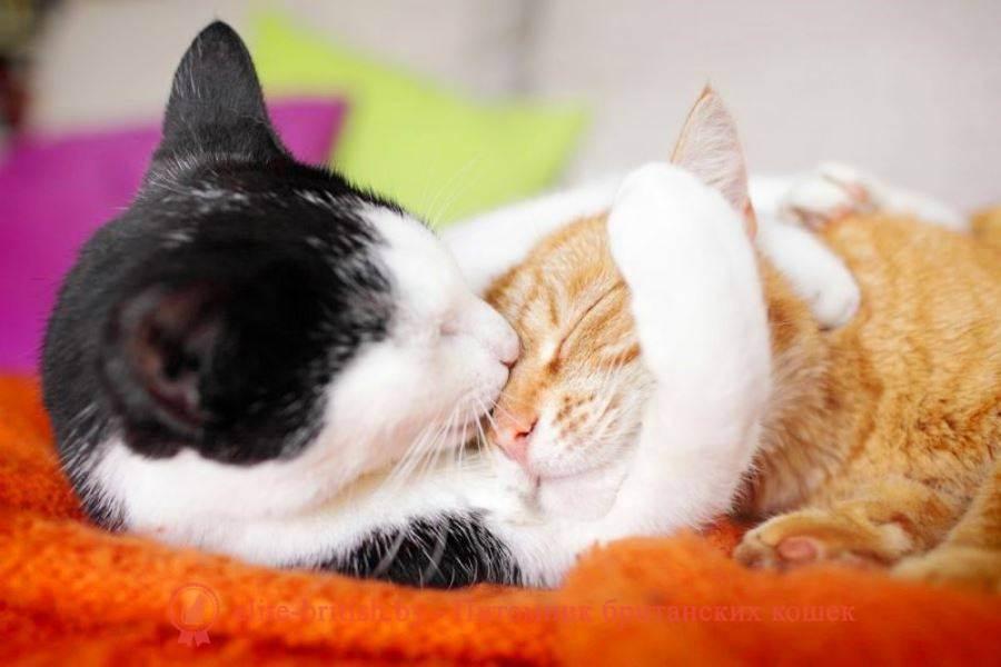 В каком возрасте стерилизуют кошек британских: распишем главное