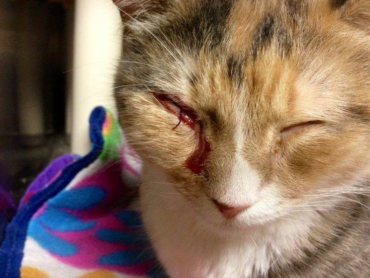 Коронавирусная инфекция кошек. fecv - feline enteric coronavirus.вирусный перитонит кошек. fip- feline infectious peritonitis.