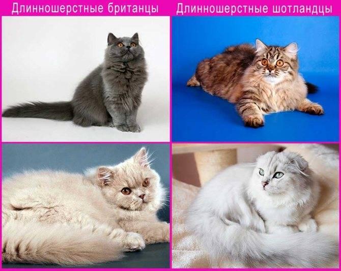 Отличия британских кошек и котят от шотландских: внешность, характер и другое
