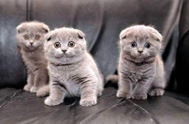 Шотландская вислоухая кошка – стандарт породы кошки