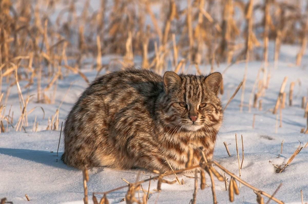 Амурский лесной кот: описание и фото, возможность содержания в домашних условиях