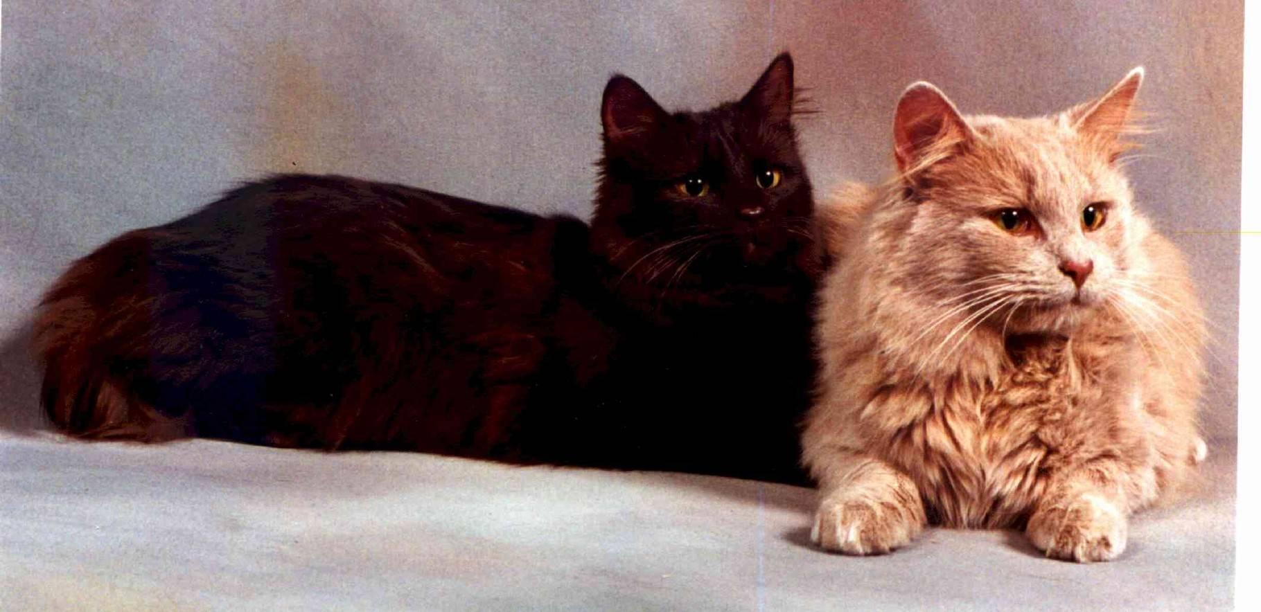Йоркская шоколадная кошка: описание и фото животного необычного цвета