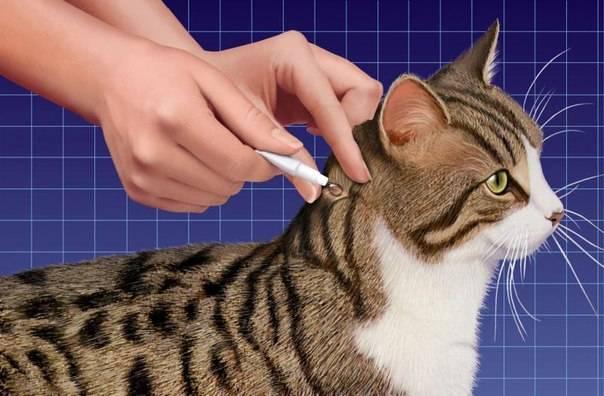 Как сделать укол кошке в холку?