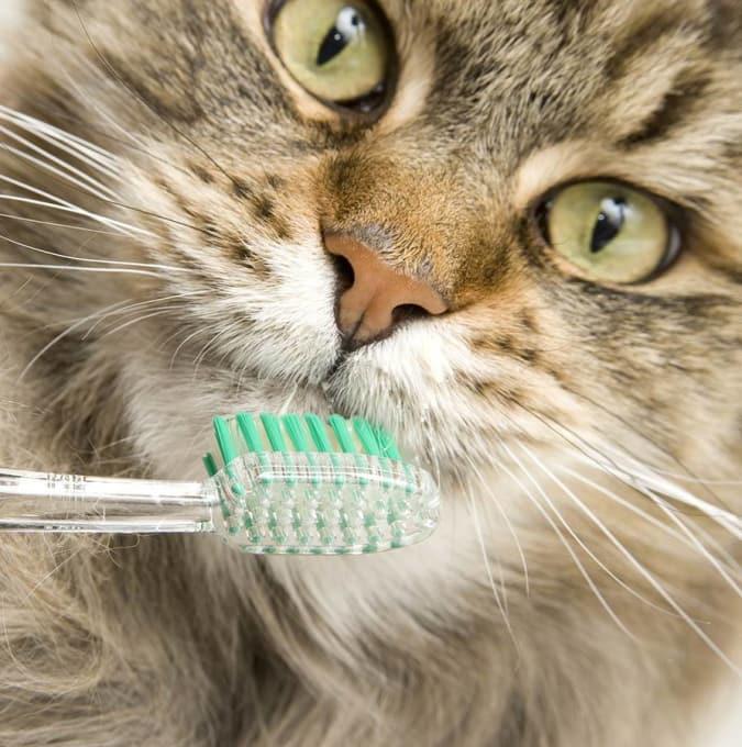 Как чистить зубы кошке и коту | как почистить в домашних условиях