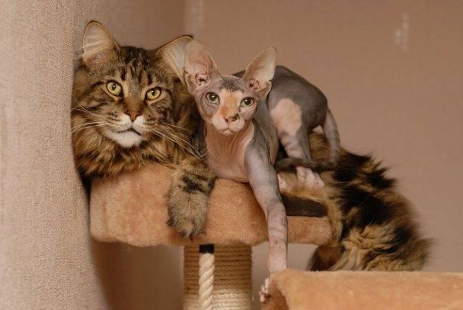 До какого возраста растут коты: размеры представителей британской, шотландской, бенгальской и прочих пород