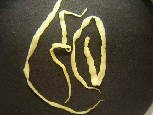 Огуречный цепень, дипилидиоз у человека - симптомы и лечение - болезни желудка