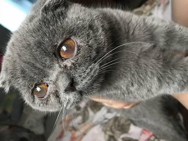 У шотландской кошки слезятся глаза — что делать?