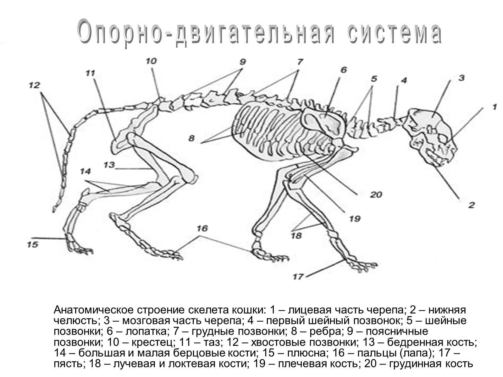 Анатомия и физиология котов и кошек: интересные особенности строения скелета, ротовой полости и внутренних органов котят и взрослых животных