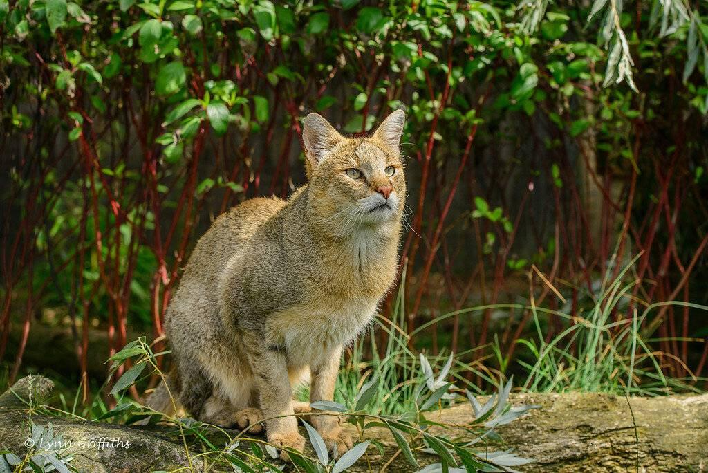 Можно ли приручить диких кошек: фото и описание самых опасных пород