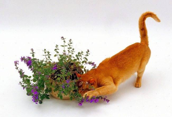 Польза кошачьей мяты для кошек