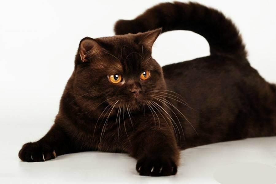 Основные правила кошачьей генетики. все о кошках