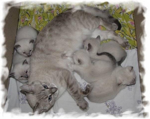Беременность и первые роды кошки: инструкция для владельцев от а до я, видео