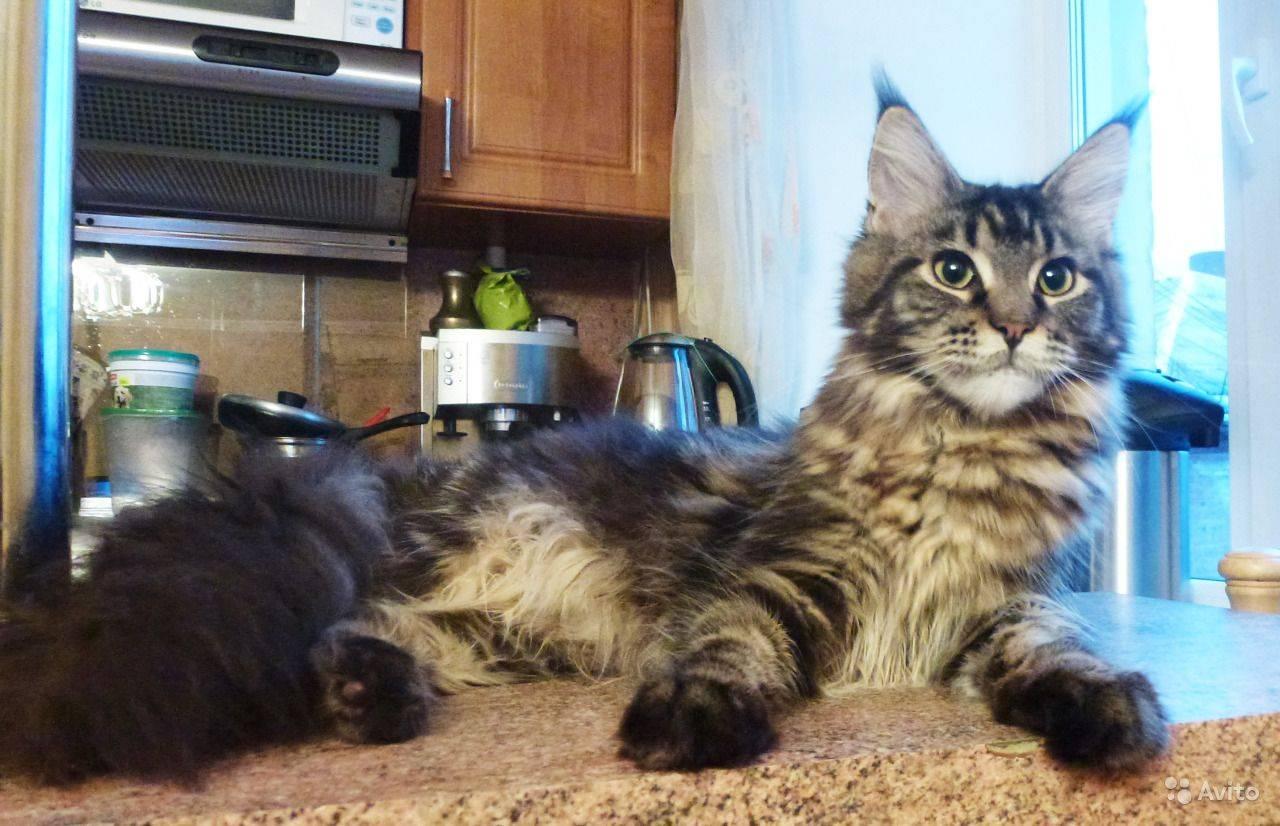 Чем кормить мейн-куна — рацион для котенка и взрослой кошки