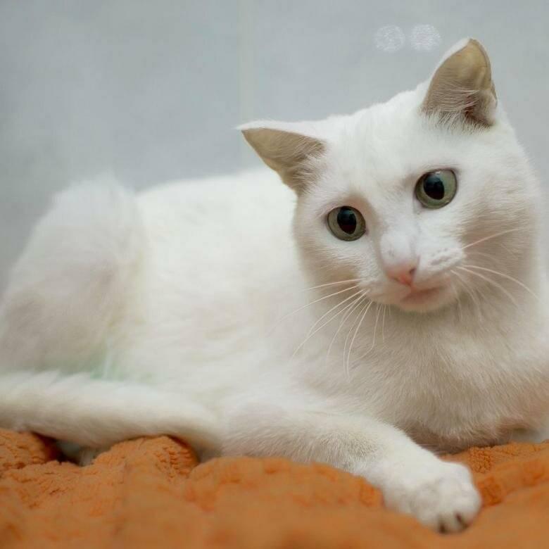 Кошки и коты с разными глазами: порода