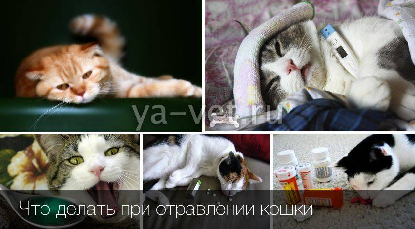 Пищевое отравление у кошек: симптомы и лечение, признаки отравления кота, первая помощь и профилактика