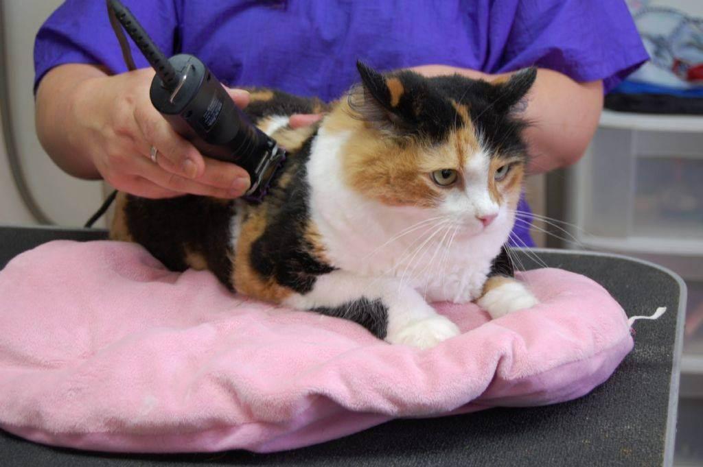 Почему нельзя стричь кошек и сколько отрастает шерсть у длинношерстных представителей?