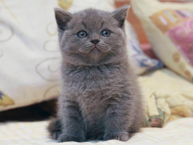 Имена для кошек девочек, клички котов британцев мальчиков, как назвать британского котенка