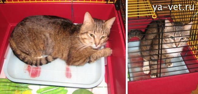 Кот писает кровью: причины, диагностика, лечение и профилактика