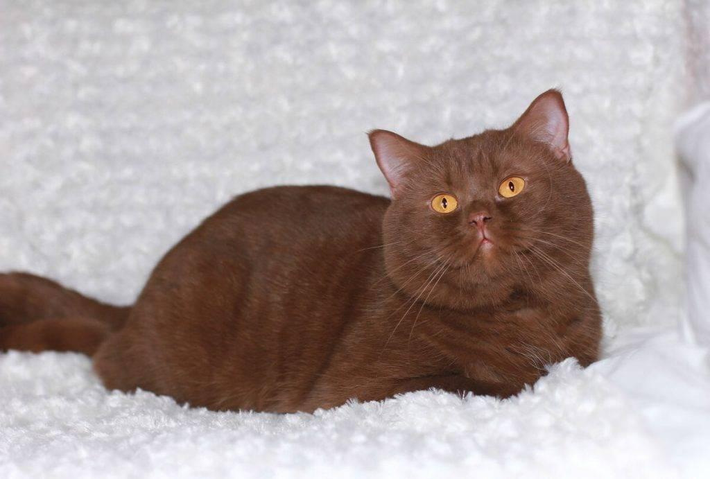 Описание пород шоколадных кошек и их содержание