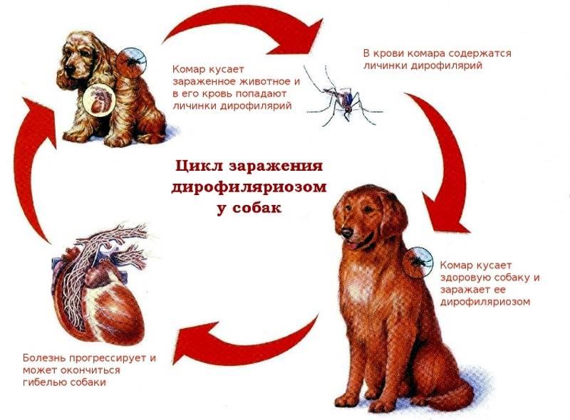 Дирофиляриоз у собак: фото, симптомы и лечениеветлечебница рос-вет