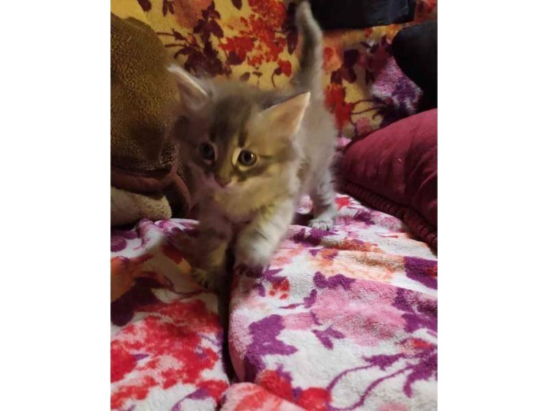 Почему коты не бывают трехцветными? тонкости окраса кошачьих