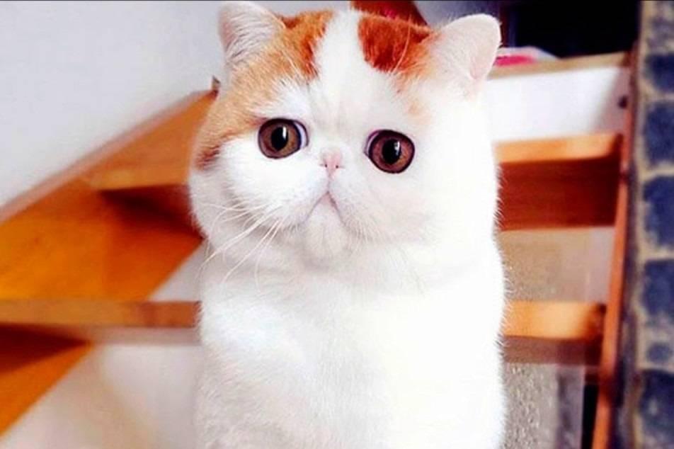 Кот снупи: описание японской экзот породы