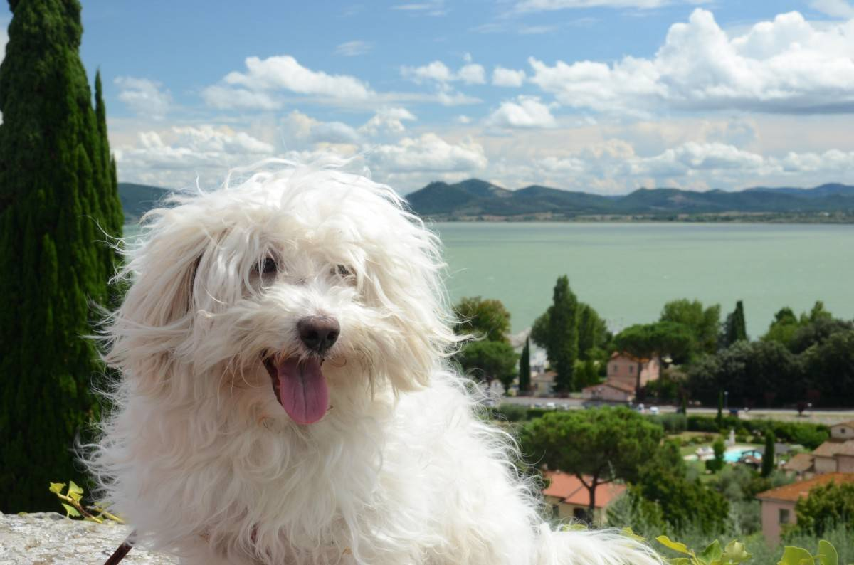 Характеристика собак породы болоньез: внешность и характер итальянских болонок
