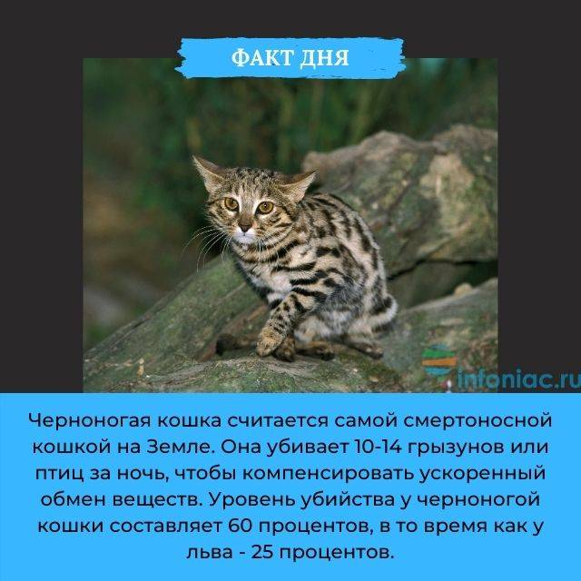 Африканская черноногая кошка с фото: характер, среда обитания и содержание в домашних условиях