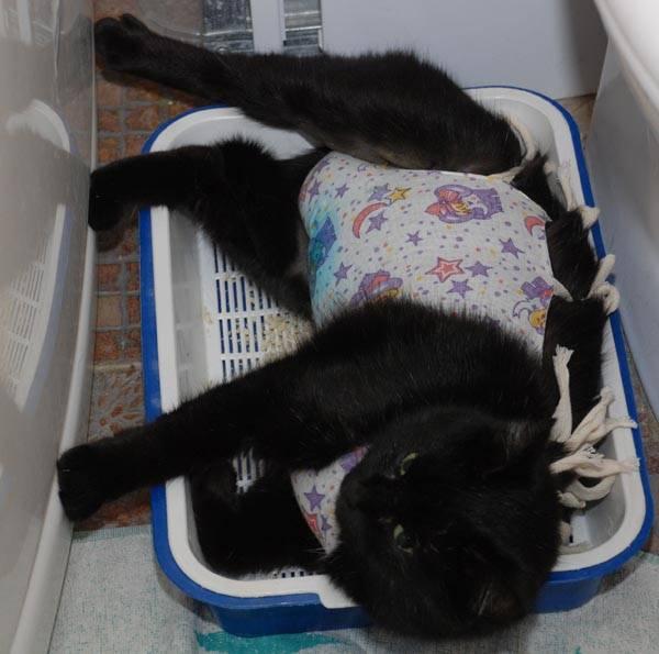 Кошка после стерилизации не ест и не пьет – что делать, почему это происходит?