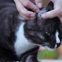 Кошку укусил клещ: как помочь питомцу?