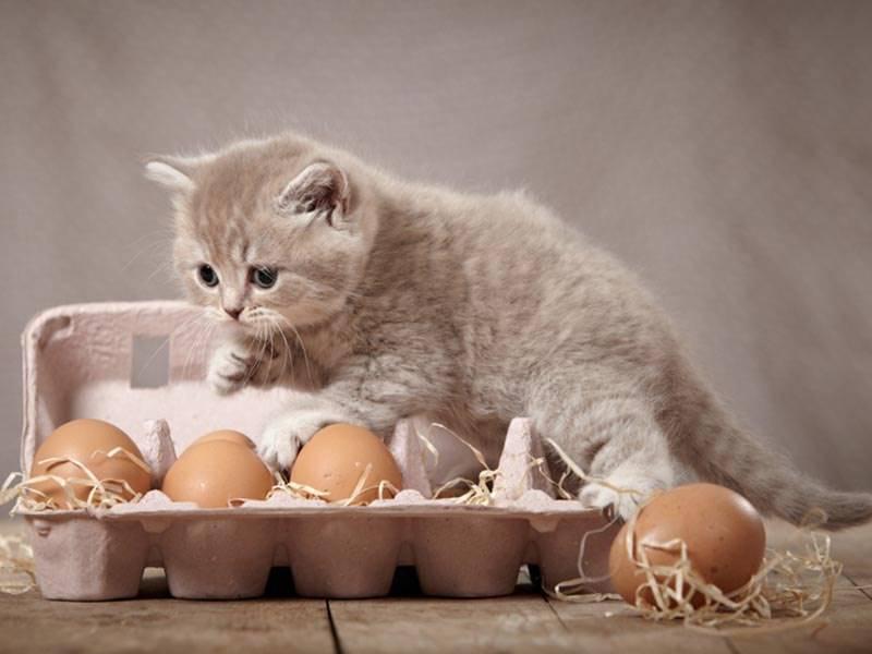 Можно ли давать котенку сырое яйцо - польза и вред