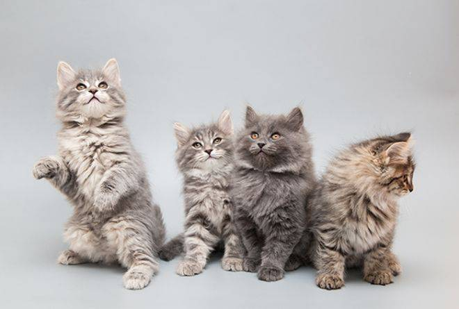 Сибирский кот и кошка: описание породы, стоимость котенка, фото