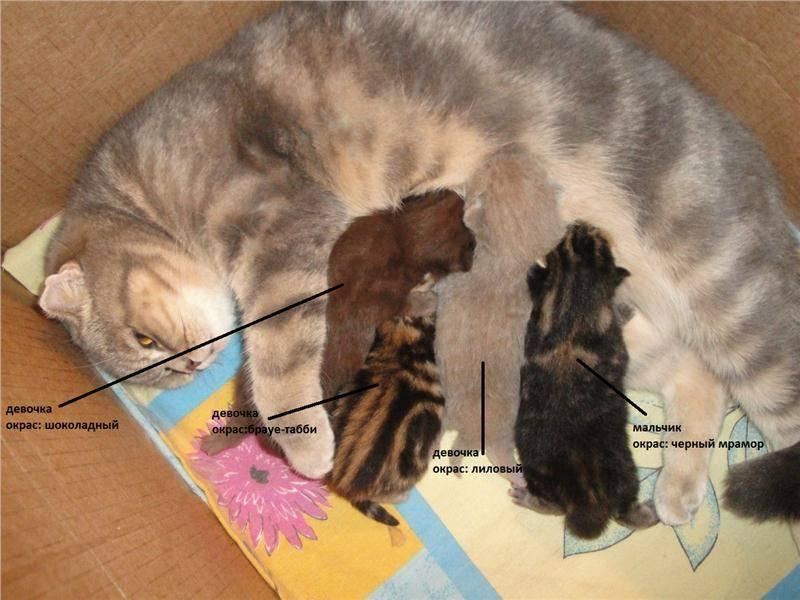 Вязка кошки первый раз: советы для начинающих