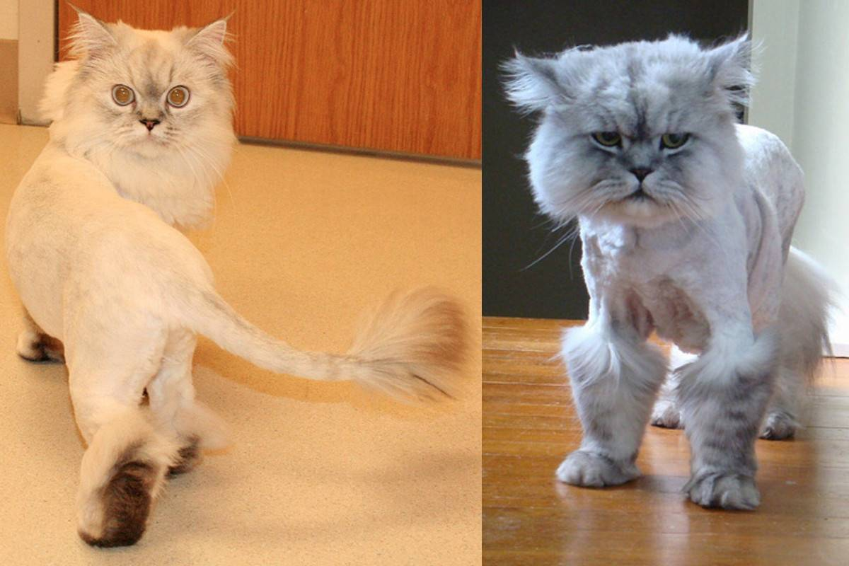 Можно ли стричь кошек