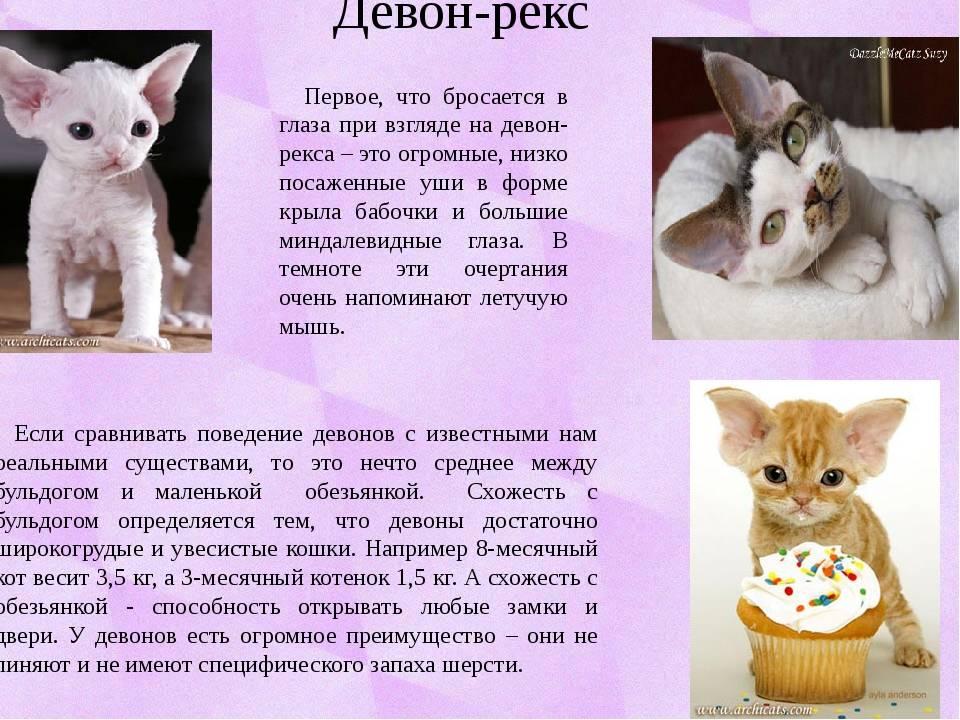 Девон-рекс - порода кошек - информация и особенностях | хиллс