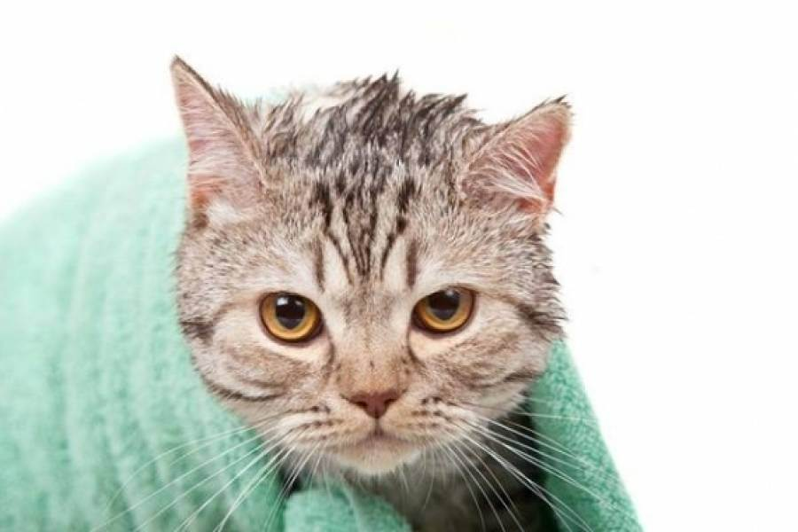 Нужно ли мыть домашних кошек