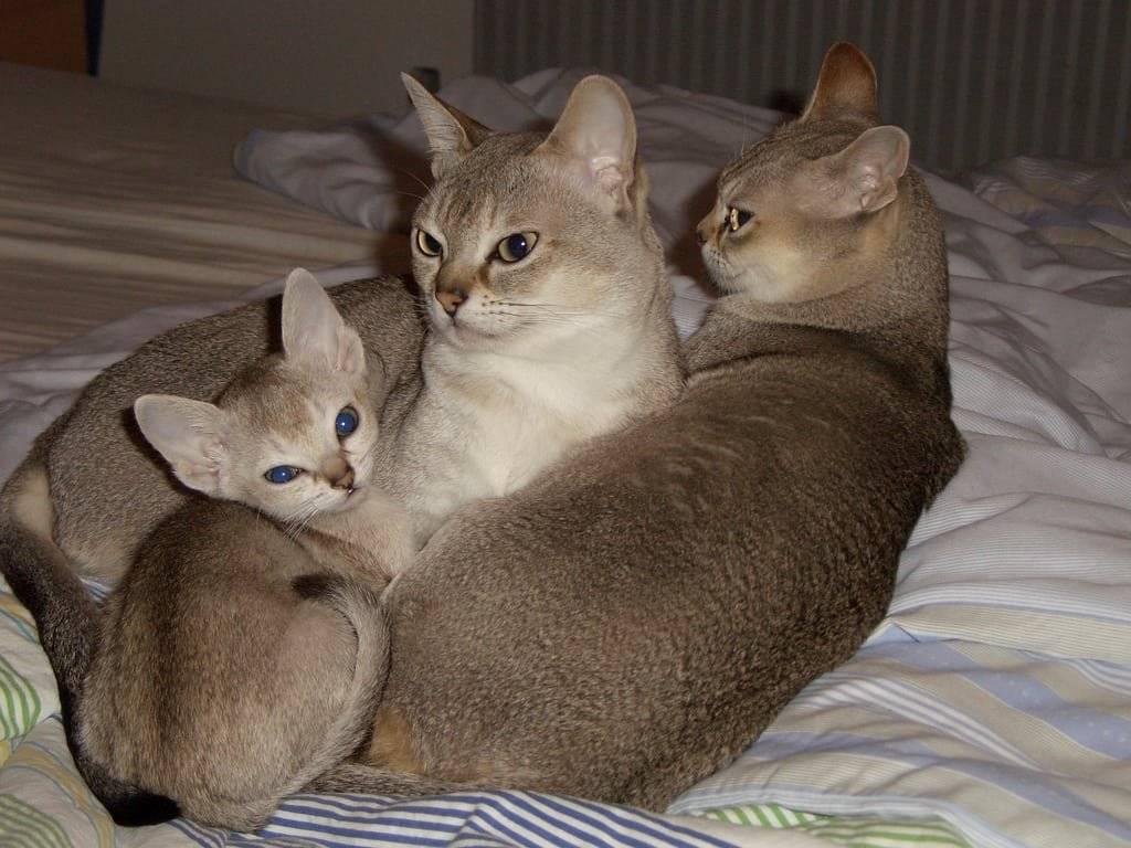 Карликовые коты и кошки: какая порода признана самой маленькой в мире, особенности их содержания и разведения, нюансы выбора питомца