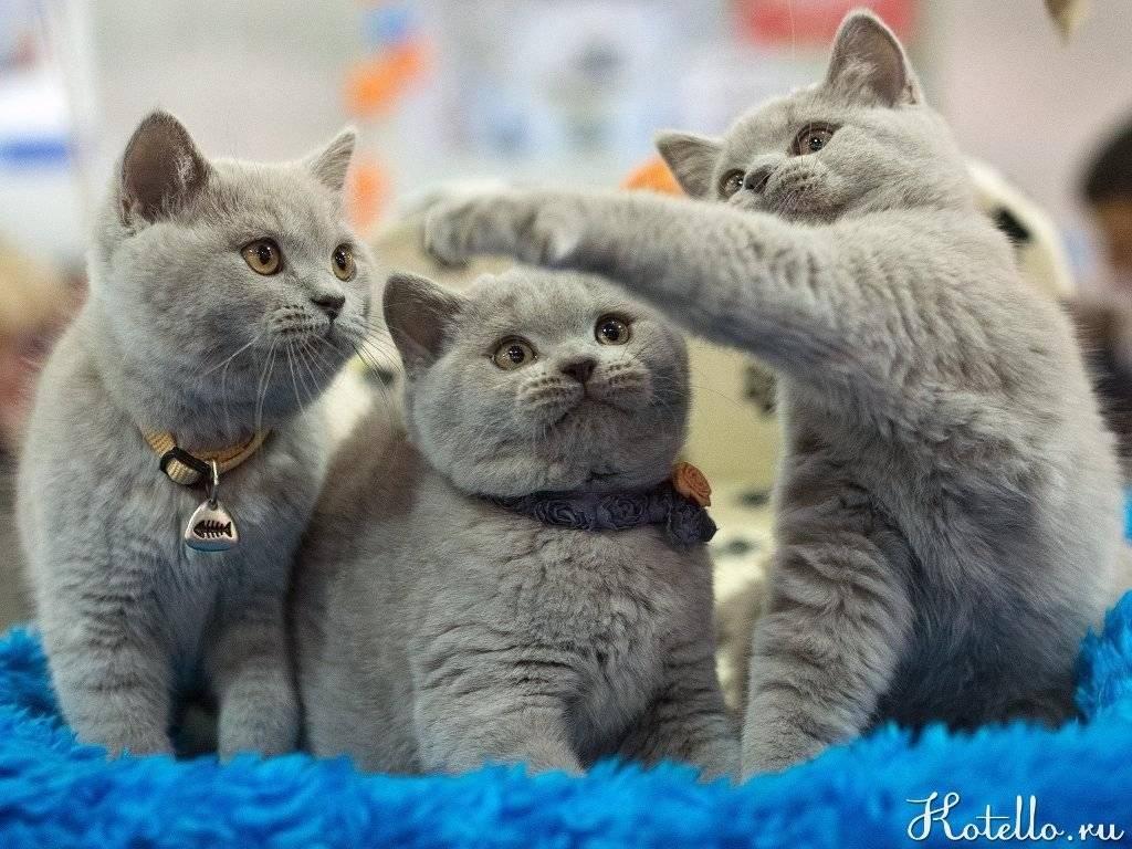 Как воспитывать британского котенка