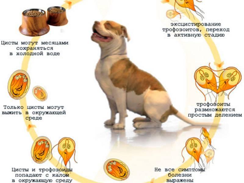 Дирофиляриоз у собак: симптомы и лечение