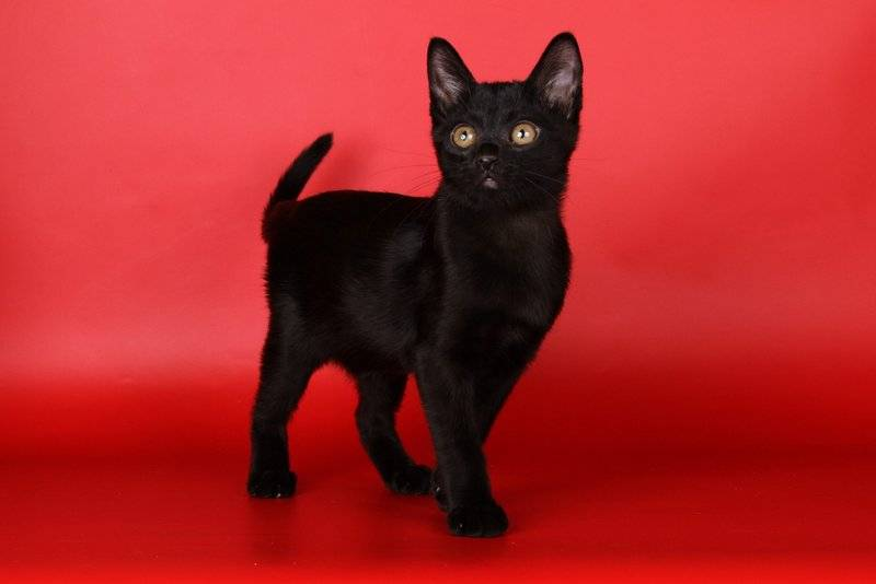 Рыжие коты: список короткошерстных и пушистых пород